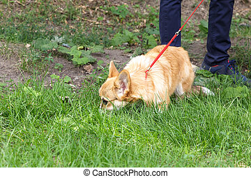 Domestic pet small red corgi dog with smooth coat walks in the grass in a meadow in summer on a leash to the owner.