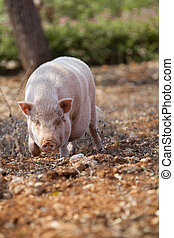 domestic pig mammal outdoor in summer looking for food