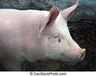pig - domestic pig