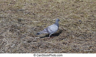 Domestic Pigeon sitting on the grass and looking curiously...