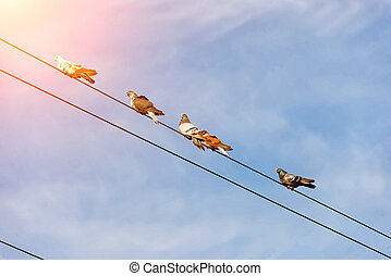 domestic pigeons sit on electric wires