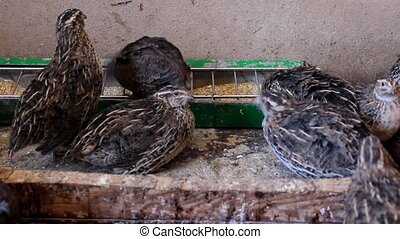 domestic poultry Japanese quail in farm