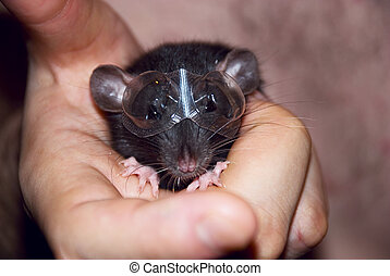 domestic rat in the hands