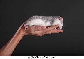 domestic rat in the palm