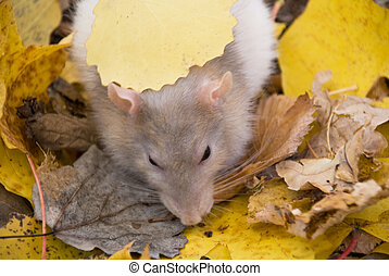 domestic rat in the woods