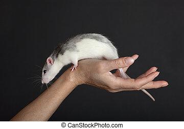 rat on a hand