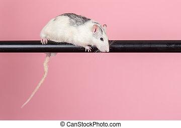 rat sitting on a black tube
