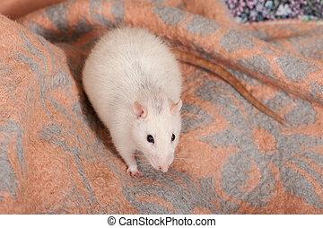 rat sitting on a blanket