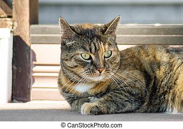 Domestic striped cat