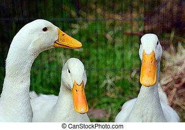 Domestic white duck