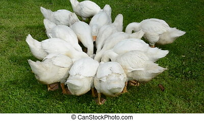domestic white gooses group in farm