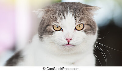 Domestic white grey cat with yellow eyes