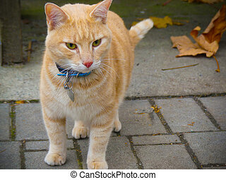 Domestic yellow cat collar tagname outdoor background