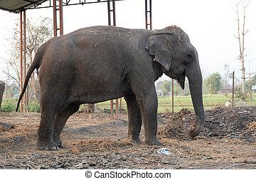 domesticado, elefantes, nepal