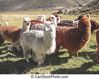 Domesticated alpacas, social herd animals that live in ...