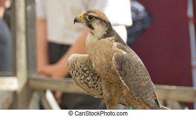 Domesticated Eagle at Circus - Domesticated eagle sitting...