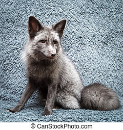 domesticated gray fox - Russian domesticated red fox