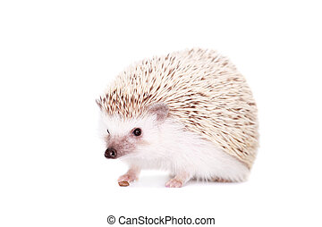 Domesticated hedgehog or African pygmy, isolated on white...