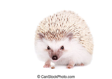Domesticated hedgehog or African pygmy, isolated on white ...