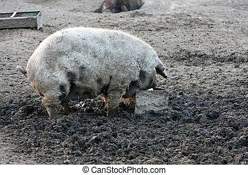 Mangulitsa pig