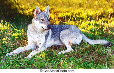 domesticated wolf dog resting relaxed on a meadow. Czechoslovakian shepherd.