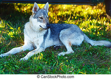 domesticated wolf dog resting relaxed on a meadow. Czechoslovakian shepherd.