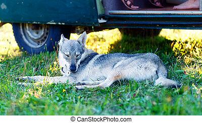 domesticated wolf dog resting relaxed on a meadow in shadow of caravan car. Czechoslovakian shepherd.