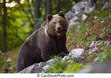 Dominant brown bear, ursus arctos standing on a rock in forest.