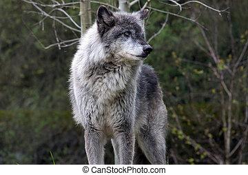 Dominant wolf posing