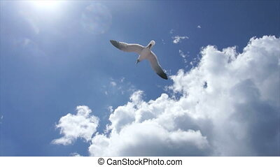 dominican gull - gull sky and clouds