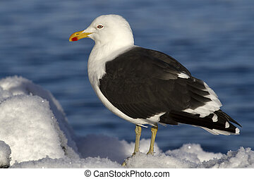 Dominican gull is sitting on the snow a winter sunny day