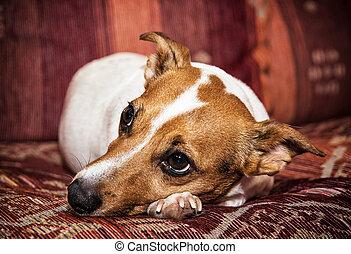 domkraft terrier russell, portræt