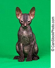 don, sphynx, kattunge