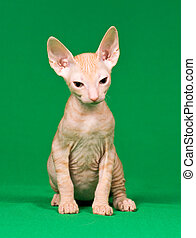 Don sphynx kitten
