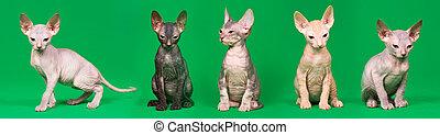 Don sphynx kittens