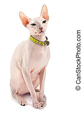 Don Sphynx (DON SPHYNX) cat. Isolated on white background