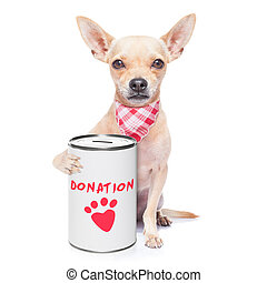 chihuahua dog with a donation can , collecting money for charity, isolated on white background