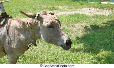 donkey a pet is grazing in a meadow. Donkey pet - donkey a...