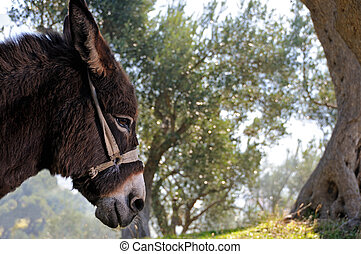Donkey and olive tree