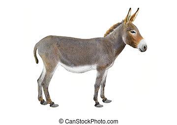 donkey -  Donkey isolated a on white background