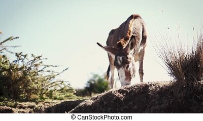 Donkey eating grass in arid climate
