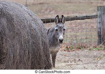 Donkey Eating Hay on Farm