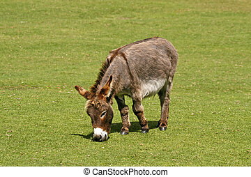 Donkey, Equus asinus, Europe