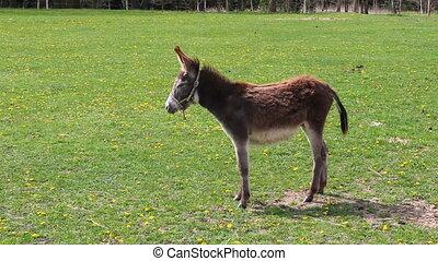 Donkey Equus asinus walking on meadow pasture. Fun screaming