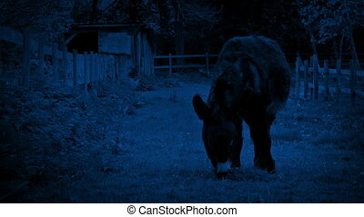 Donkey Grazing At Night - Donkey grazing in paddock in the...