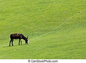 donkey grazing in a meadow