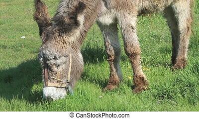 donkey grazing closeup view