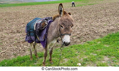 Donkey in Field with Man in Background - Handheld, medium...