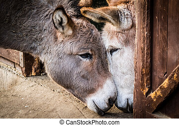 Donkey in love - Two donkeys cuddling to each other in a ...