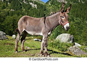 Donkey on Italian Alps - Orsiera Park, Piedmont Region,...
